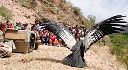 cóndor liberado en Catamarca